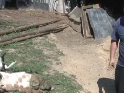 Stradalo stado koza i ovaca