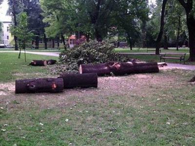 Posječena suha stabla javora