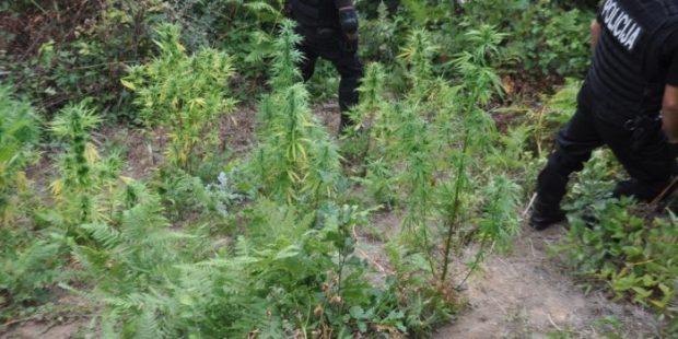 U Dobriljevu zaplijenjeno 28 stabljika marihuane